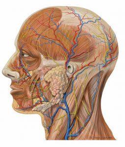 Lateral_head_anatomy_detail1-255x300