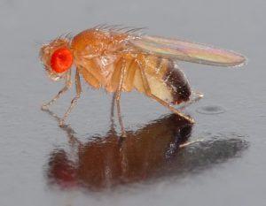 Drosophila_melanogaster_-_side_aka1-300x233
